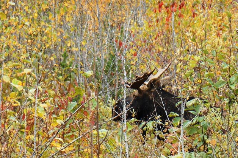 swayze camp moose..2013